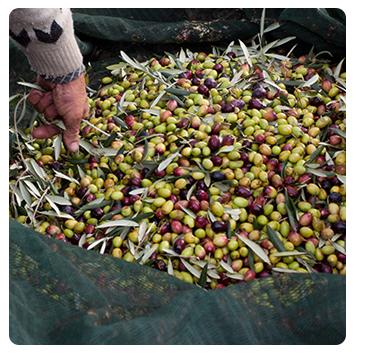 Производственный процесс - сбор оливок